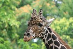 Młoda Afrykańska żyrafa Fotografia Royalty Free
