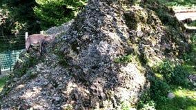 Młoda Alpejska koziorożec karmi zdjęcie wideo