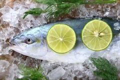 Młoda amberjack ryba lub buri ryba obraz royalty free