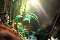 Młoda bambusowa roślina i światło słoneczne Zdjęcia Royalty Free