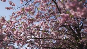 Młoda biała caucasian kobieta cieszy się Sakura czereśniowego okwitnięcie kwitnie drzewa w części w Europa Ryski Latvia zdjęcie wideo