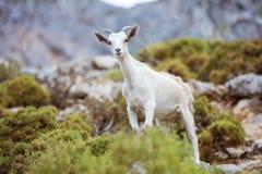 Młoda biała kózka w górach na wybrzeżu Zdjęcie Royalty Free
