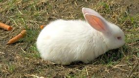 Młoda biała królika łasowania trawa zbiory wideo