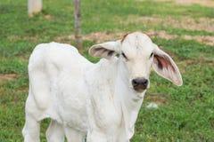 Młoda biała krowa Zdjęcia Stock