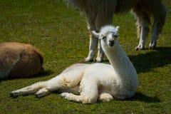 Młoda biała lama odpoczywa na trawie obrazy royalty free