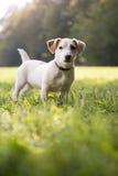 Młoda biały dźwigarka Russell na trawie w parku Zdjęcie Stock
