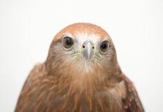 Młoda Brahminy kania lub Popierający Eagle Fotografia Stock
