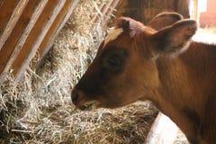 Młoda brown łydka w stajni łasowania sianie Obraz Royalty Free