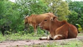 Młoda brown krowa i macierzysty żuć zdjęcie wideo