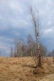 Młoda brzoza bez liści na początku wiosny Obrazy Royalty Free