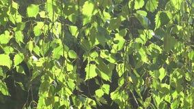 Młoda brzoza przy zmierzchem w świetle słonecznym zdjęcie wideo