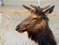 Młoda Caribou głowa opuszczać Fotografia Royalty Free
