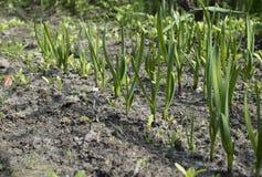 Młoda cebula kiełkuje dorośnięcie w ogródzie Obrazy Royalty Free