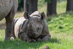 Młoda czarna nosorożec w niewoli zdjęcie royalty free