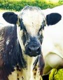 Młoda Czarny I Biały krowa Fotografia Stock