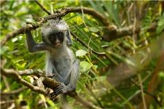 Młoda czerwona colobus małpa w Jozani lasowym parku narodowym, Zdjęcia Stock