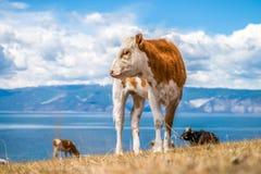 Młoda czerwona krowa z białymi punktami Zdjęcia Stock