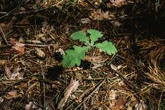 Młoda dąb flanca z zielonymi liśćmi Zdjęcia Stock
