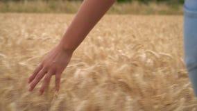 Młoda dorosła kobieta lub nastoletnie żeńskie dziewczyny wręczamy czuć wierzchołek pole złota jęczmienia, kukurudzy lub banatki u zdjęcie wideo