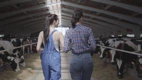 Młoda dziewczyna rolnicy robi wycieczce turysycznej stajnia z krowami na gospodarstwie rolnym Dziewczyna rolnik pokazuje gość łyd zbiory