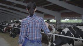 Młoda dziewczyna rolnik robi wycieczce turysycznej stajnia z krowami na gospodarstwie rolnym zdjęcie wideo