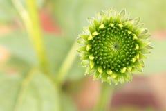 Młoda Echinacea kwiatu głowy wapna zieleń z zamazanym pastelowym tłem obraz stock