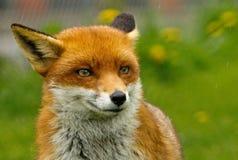 Młoda Fox głowa, patrzeje prosto naprzód Obrazy Stock