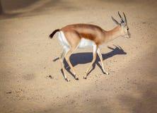 Młoda gazela zdjęcia stock