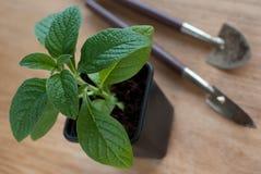 Młoda Heliotropowa roślina w plastikowym garnku Zdjęcia Royalty Free