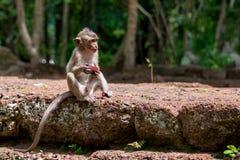 Młoda i głodna makak małpa pożera owoc zdjęcie stock