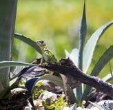 Młoda iguana na agawy roślinie Zdjęcia Stock