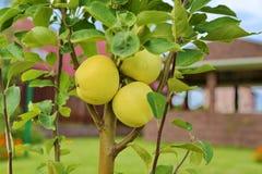 Młoda jabłoń w ogródzie obrazy stock