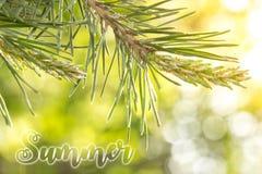Młoda jodły gałąź, iluminująca jaskrawym lata słońcem obrazy stock
