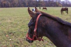 Młoda koń głowa Fotografia Royalty Free