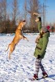 Młoda kobieta bawić się z Amerykańskim pit bull Terrier w zimie obrazy royalty free