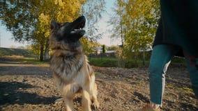 Młoda kobieta bawić się z dużym psem outdoors przy parkiem, kobiet sztuki ludzcy ` s zwierzęta domowe z dużą bacą, bawić się z ps zbiory wideo