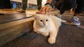 Młoda Kobieta Muska Ogromnego Grubego Puszystego japończyka Kawaii kota przy nocy Targową ulicą w Phuket miasteczku 4K Tajlandia zbiory
