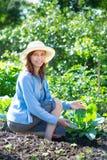 Młoda kobieta odchwaszcza łóżka z flancami kapuścianymi w ogródzie Obraz Stock