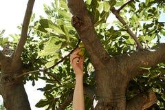 Młoda kobieta podnosi figi od drzewa przy plażą Fotografia Stock