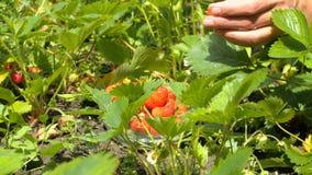Młoda kobieta wręcza zrywanie truskawki w polu 4k zakończenie up zdjęcie wideo
