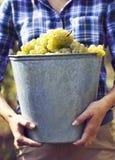 Młoda kobieta zbiera winogrona w winnicy fotografia stock