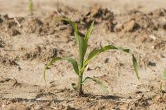 Młoda Kukurydzana roślina Zdjęcie Stock