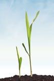Młoda kukurydzana roślina kiełkuje dorośnięcie Fotografia Stock