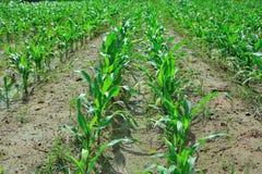 Młoda kukurydzana roślina w polu Obraz Royalty Free