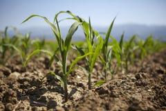 Młoda kukurydzana rozsada r przy wiosną Zdjęcie Royalty Free