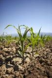 Młoda kukurydzana rozsada r przy wiosną Fotografia Royalty Free