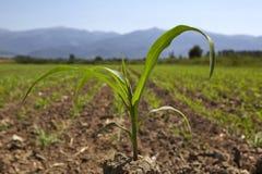 Młoda kukurydzana rozsada r przy wiosną Obrazy Stock