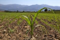 Młoda kukurydzana rozsada r przy wiosną Zdjęcie Stock