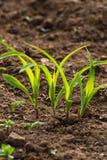 młoda kukurydzy roślina, pole i zdjęcie stock