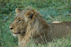 Młoda lew samiec kłaść w trawie Zdjęcie Royalty Free